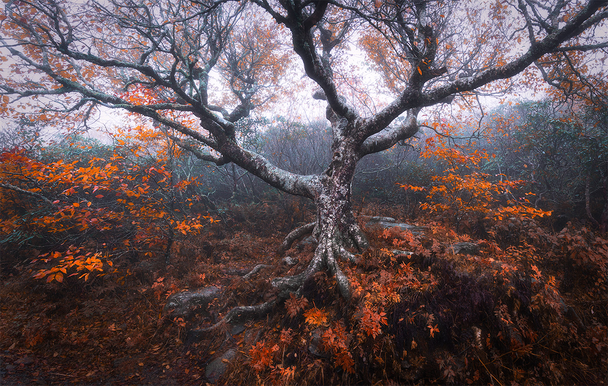 Great Craggy Tree In Fall Colors