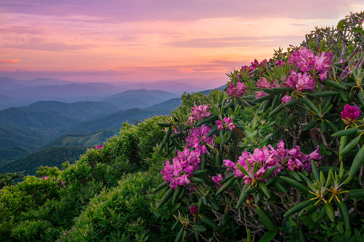 Roan Highland Rhododendrons
